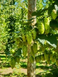 What is hop used for in brewing